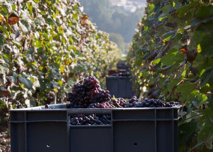 vendange, raisin, vin, dégustation, tourisme, évènement, activité