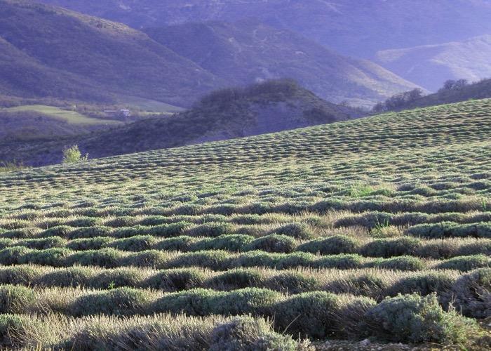 Baladez vous dans les champs de lavande lors de votre séminaire en Provence